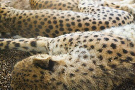 Sleeping gepard image. Gepards sleep on the ground