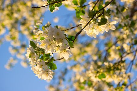 white flowers in spring in warm sunlight