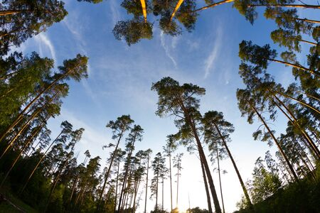 tops of pine trees. Fish eye lens 写真素材