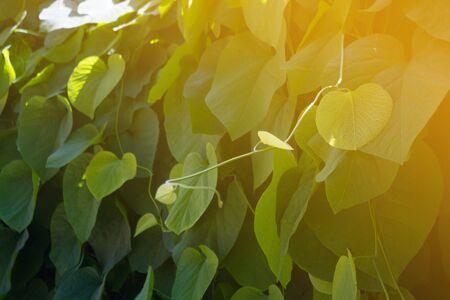 Green ivy background. Ivy in warm sunlight
