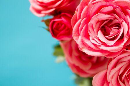Coral rose flower close up. Pink roses