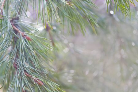 Close up of christmas tree branches in the forest Stockfoto