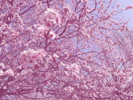 Sakure trees blooming in a park