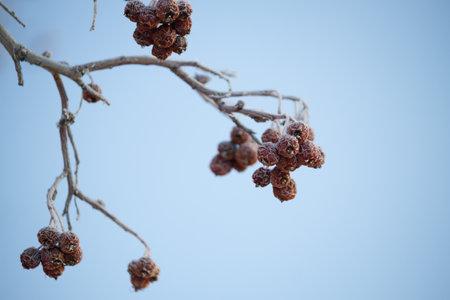 Winter mountain ash, crone. Frozen berries