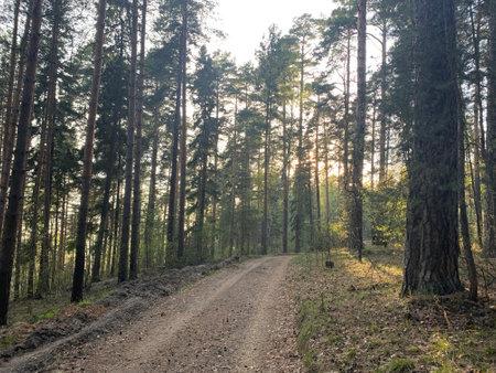 Road through a pine tree forest Zdjęcie Seryjne