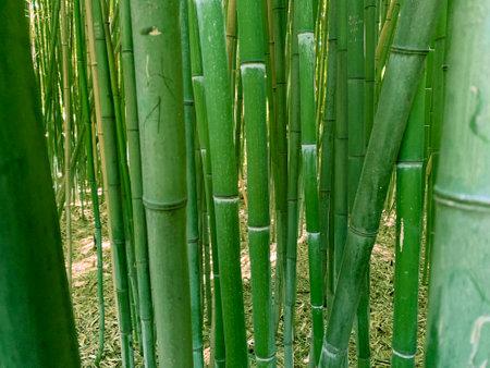 Green bamboo trees / Close up