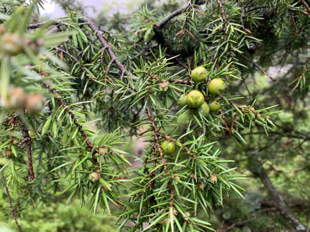 Close up of some coniferous tree in a forest