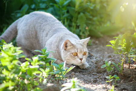 cat is hunting in the grass