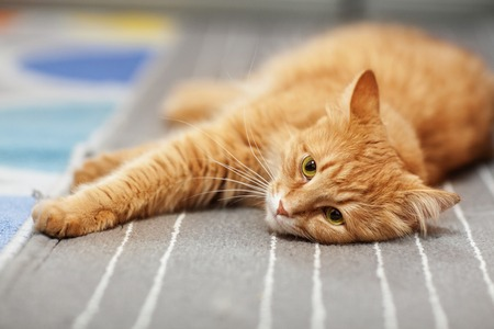 red cat stretched out on the carpet Stock Photo