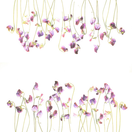 be the identity: Pretty violet watercolor sweet pea flowers. Flowers fragrant pea. Design template with place for your text. Watercolor backdrop can be used for web page background, identity style, printing.