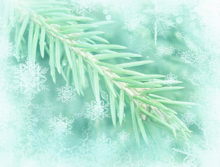 hoar frost: Winter background with isolated pine branch. Frosted fir-tree. Pine branches covered with hoarfrost. Christmas evergreen spruce tree.