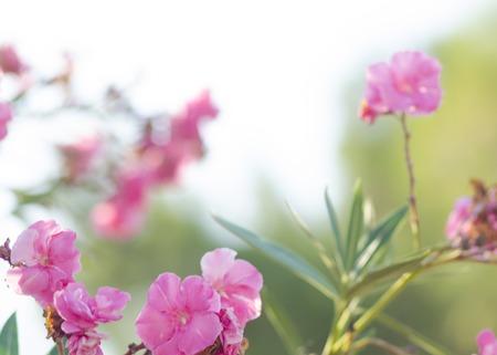 nerium: Oleander bush. Bright pink oleander flowers. Nerium oleander tree in blossom.