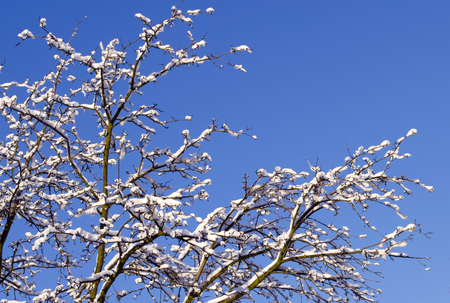 Winter background - frosty branches of the tree on the background of the blue sky. Close up of snow covered branches. Stock Photo