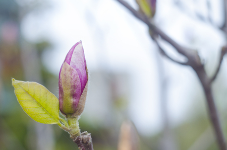Spring magnolia pink buds on a branch of a tree. Blossom magnolia flower in nature. Beautiful spring bloom.