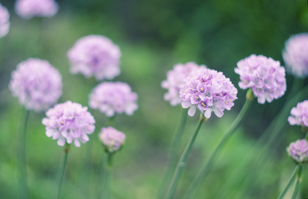 Sea thrift -Armeria maritima , flowers blooming in a meadow.