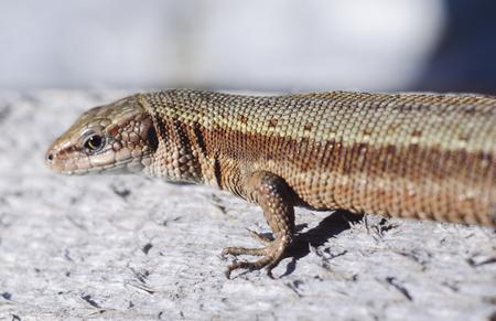 The viviparous lizard or common lizard. Macro viev. Zootoca vivipara. Lizard on a wooden board. Reptile animal.
