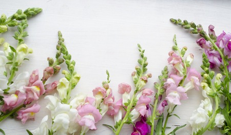 Antirrinum on a white wooden background. Floral background.