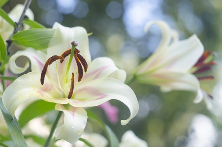 contrast floral: White lily on a blurry background. Natural background.