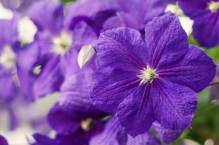Flowers of clematis. Purple clematis flowers. Close up