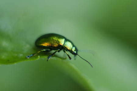 A golden glittering bug. Macro shot depicting a brilliant beetle on a green leaf. Carpathian flora and fauna. Stock Photo