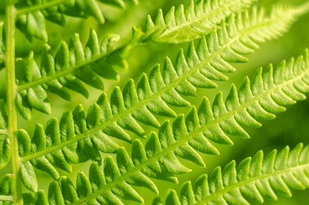 Green bright fern macro. Close-up of lush green leaves of fern plant. Natural background.
