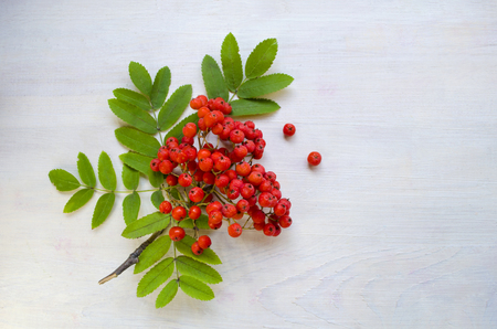 The branch of the mountain ash on a white wooden background.