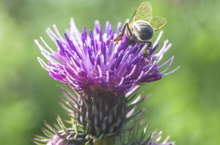 A flower thistle with a bee. Beautiful summer flower on natural green background. Close-up.