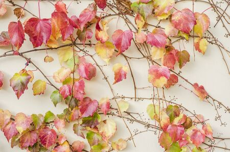Autumnal ornamental grapes on the background of a light wall. Autumn seasonal photo.