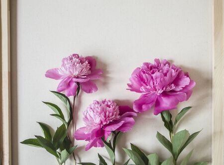 Three pink peonies on a background of light canvas. Summer photo with a place for greetings. Imagens
