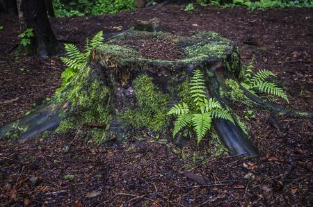 Old stump with ferns in the mountain forest. Photo of elements of nature.
