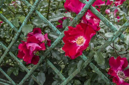 Summer wild roses through the fence.