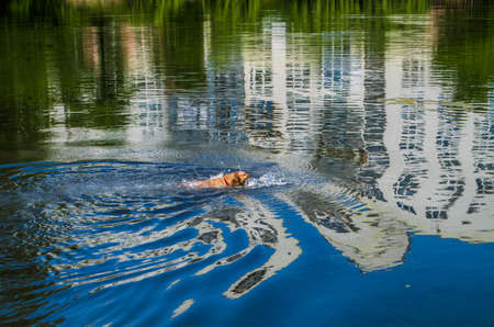 City lake photo. The dog swims in the pond. Golden retriever , Imagens