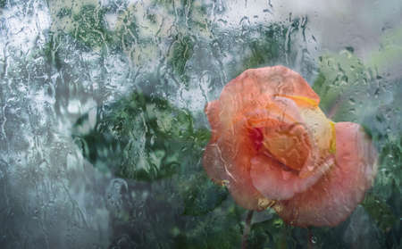 Apricot rose outside the window in the raindrops. Photo of a flower.