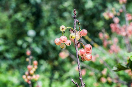 Pink red currant berries on the bush on a natural background. Garden photo. Healthy food. Imagens