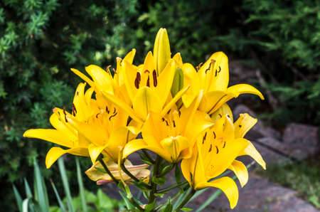 Yellow lily on a green background. Garden flower photo.
