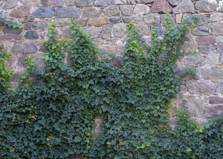 stone wall with green leaves is natural in architecture Foto de archivo