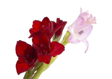 beautiful bright gladiolus flower present on womens day isolated on the white