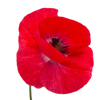 Pretty red poppy flower isolated on the white