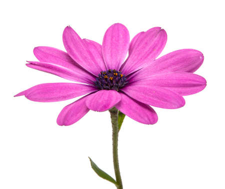 Osteospermum or african daisy withe purple petals isolated on the white