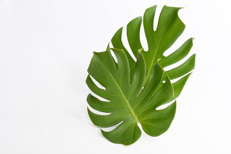Leaves of Monstera deliciosa