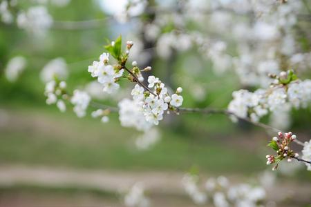 White Apple Flowers. Beautiful flowering apple trees. Soft focus