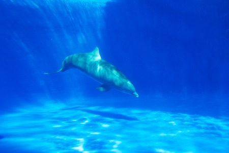 Dolphin swims under the water in aquarium. Blue water Stock Photo