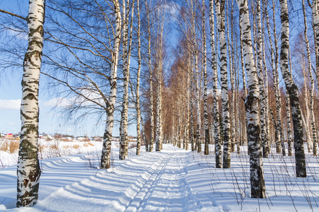 Ski run in a winter birch forest Sunny day Cross country ski trails