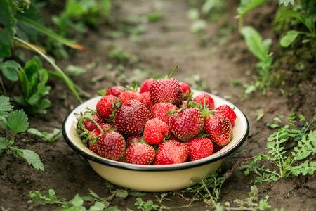 Fresh strawberry in bowl in the garden Outdoor Summer Selective Focus 写真素材