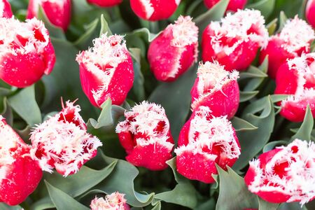 Beautiful red and white tulips. Spring nature background - Image Foto de archivo - 137896614