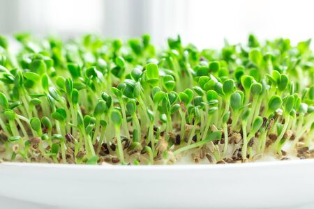 Salad on the windowsill. Microgreens growing. Vegan and healthy eating concept. White background. Close-up - Image