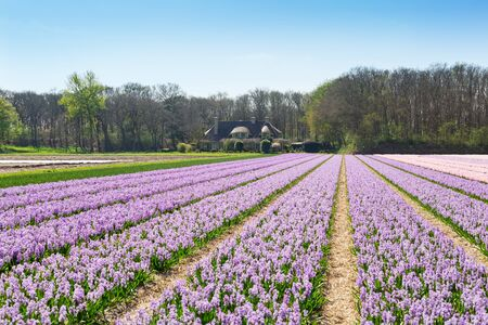 Field of blooming hyacinth flowers. Purple hyacinths. Beautiful landscape in the Netherlands, Europe - Image