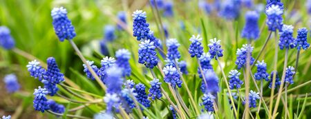 Spring banner of beautiful grape hyacinths. Muscari flowers in spring garden. Landscape panorama, copy space - Image
