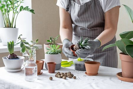 Woman hand transplanting succulent in ceramic pot on the table. Concept of indoor garden home - Image