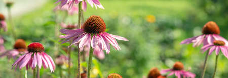 Echinacea Purpurea or Pink Coneflower in garden. Summer flower background. Selective focus. Horizontal banner - Image